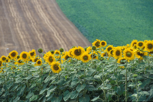 Girasoli Toscani (600Wx400H) - Girasoli, Tuscan sunflowers  (Photo Courtesy of <a href='http://www.studentsville.it' target='_blank'>studentsVille.it</a>)